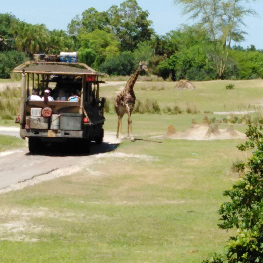 Giraffe ambling away from safari car